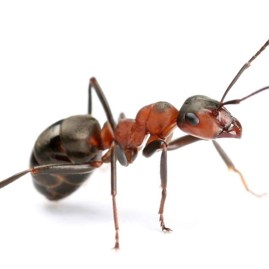 BRF 3D Marseille fourmi charpentière désinsectisation